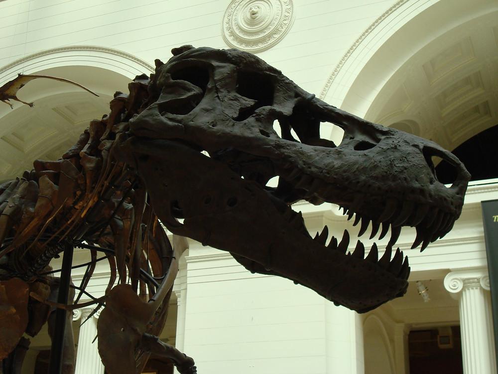 """Sue"" T. rex skeleton at Field Museum"