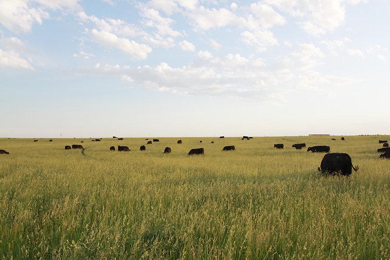cows_pasture2.jpg