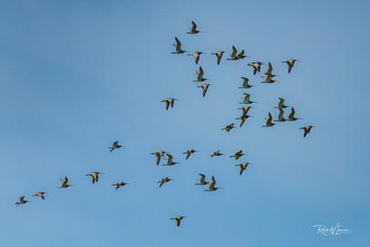Grosse Brachvögel in Flugformation übe dem Kaltbrunner Ried