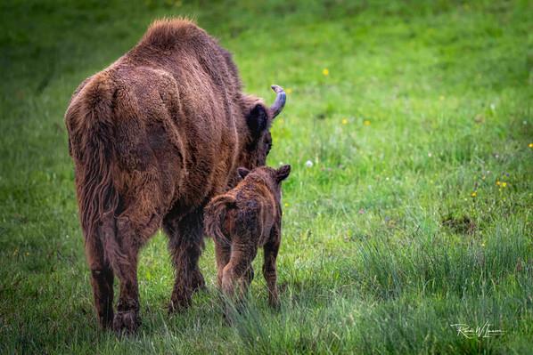 Wisentmutter mit Jungem