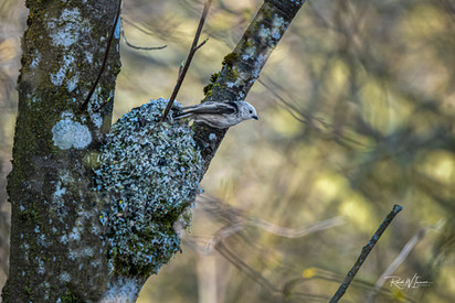 Nest und Schwanzmeise