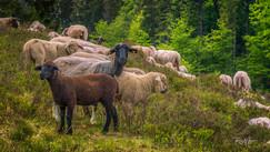 Schafherde Schwarzwald, braunes Schaf vorne