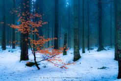 Rotbuche-winterwald-Eisweiher-_DSC1277-1