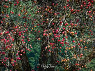 Apfelbaum voller roter  Äpfelchen grünes Bokeh_Z625478-Signet-web.jpg