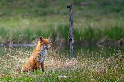 Fuchs, Fähe auf der Jagd an der Reuss