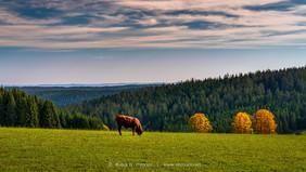 Schwarzwaldstier-einsam-Weide-Herbstfarb