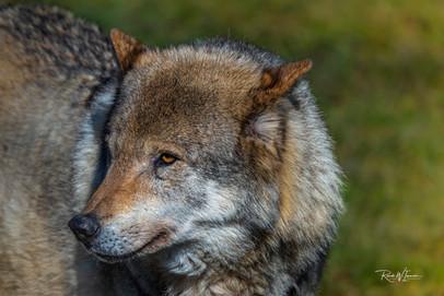 Wolf Portrait gross (TP Goldau)