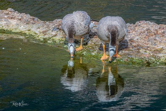 Zwei Gänse im Spiegelbild (TP Goldau)
