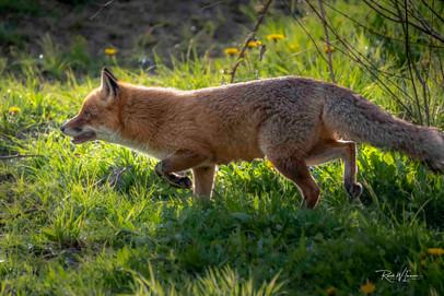 Fuchs auf der Pirsch, TP Langenberg