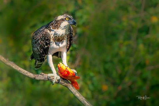Fischadler gross mit ganzem Goldfisch Bokeh unscharf Leukerfeld Agarn_DSC5174-Signet-web.j