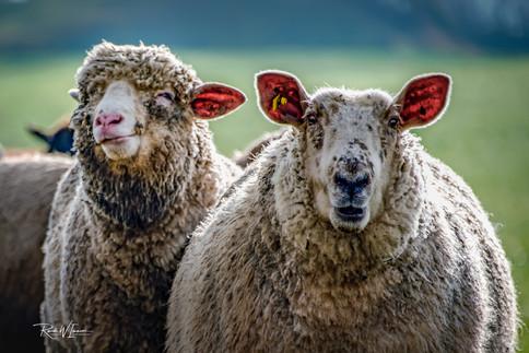 Zwei Schaf-Schönheiten