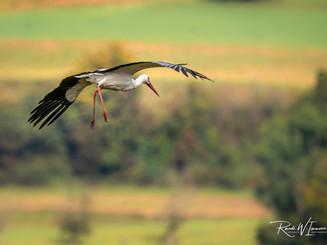 Storch im Landeanflug bei der stillen Reuss Herbst_DSC5515-Signet-web.jpg