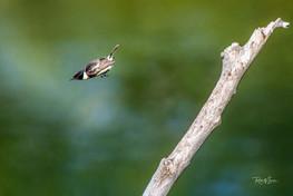 Schwarzkehlchen, Männchen beim Abflug