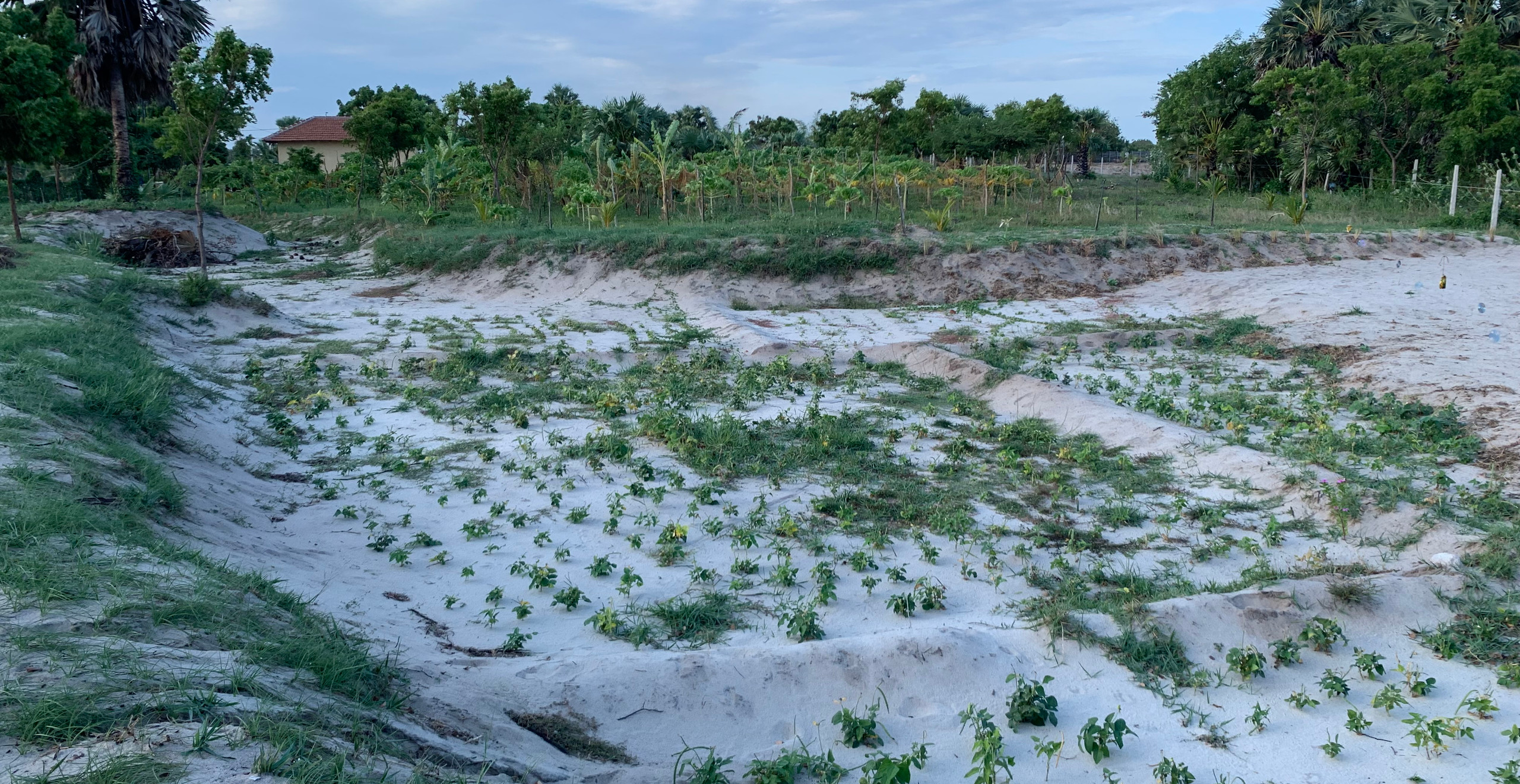 Here is the original pond along with water retaining crops we planted. Namely rice and cow pea.