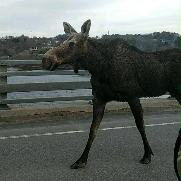 Closer Moose.jpg