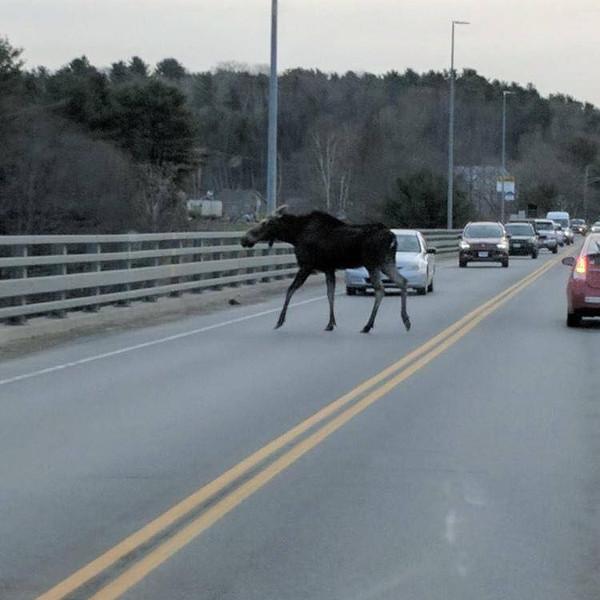 Moose on Bridge.jpg
