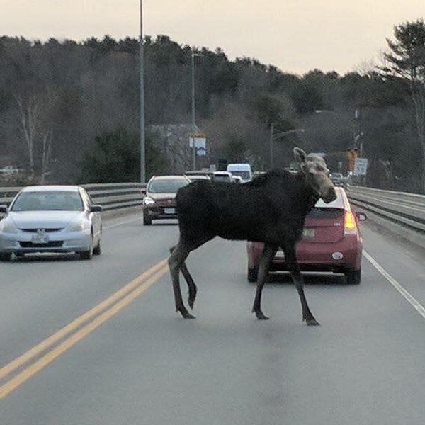 Moose on bridge 2.jpg