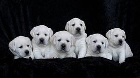 laborador puppies for sale