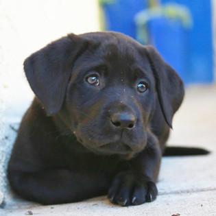 stofer black laborador puppy