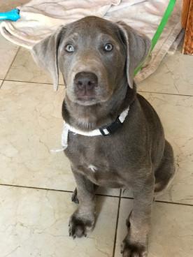 stofer silver laborador puppy