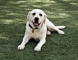 whitle labrador puppies