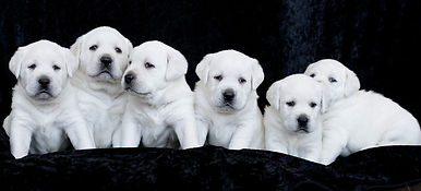 Reserve a Stofer's Labs Puppy