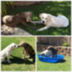 Prepare for Your Stofer's Labs Puppy: Plan Play Dates