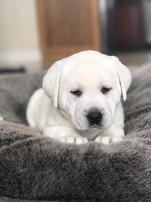stofer white labrorador puppy