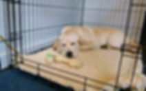 Stofer's Labs Crate Training in Puppy Area