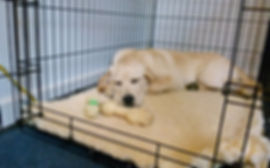 Prepare for Your Stofer's Labs Puppy: Crate Training