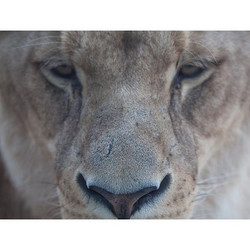 N a t u r a l D o m i n a n c e _ Bonding with the queen of all animals, the Lioness 🐾 A feeling th