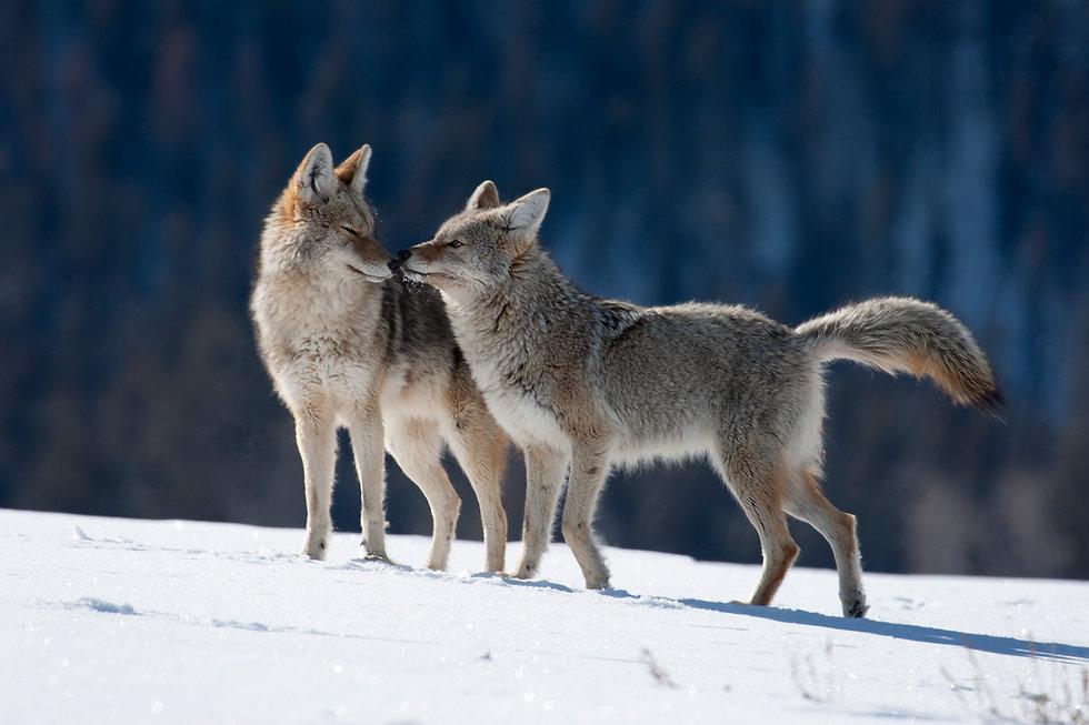 Coyote couple.jpg