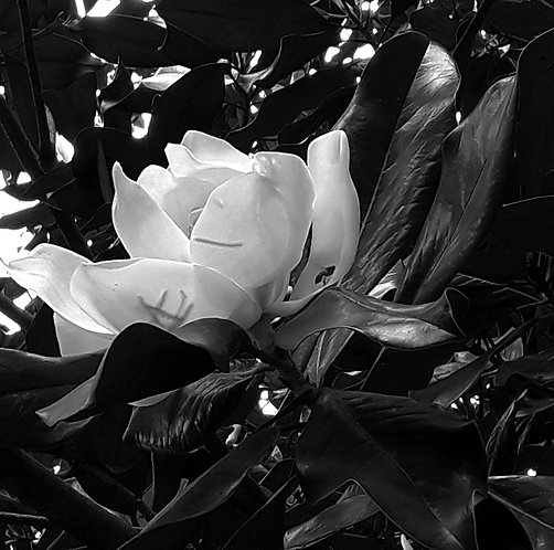 Magnólia em flor