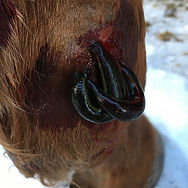 Blutegel - Fesselringband  #pferdereha #