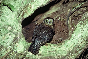 Morepork by Dick Veitch.jpg