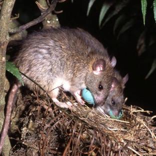 1476922183928 Rats Stealing Eggs.jpg
