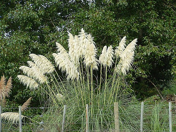 Pampas grass.jpg