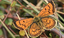 Coastal copper butterfly.jpg
