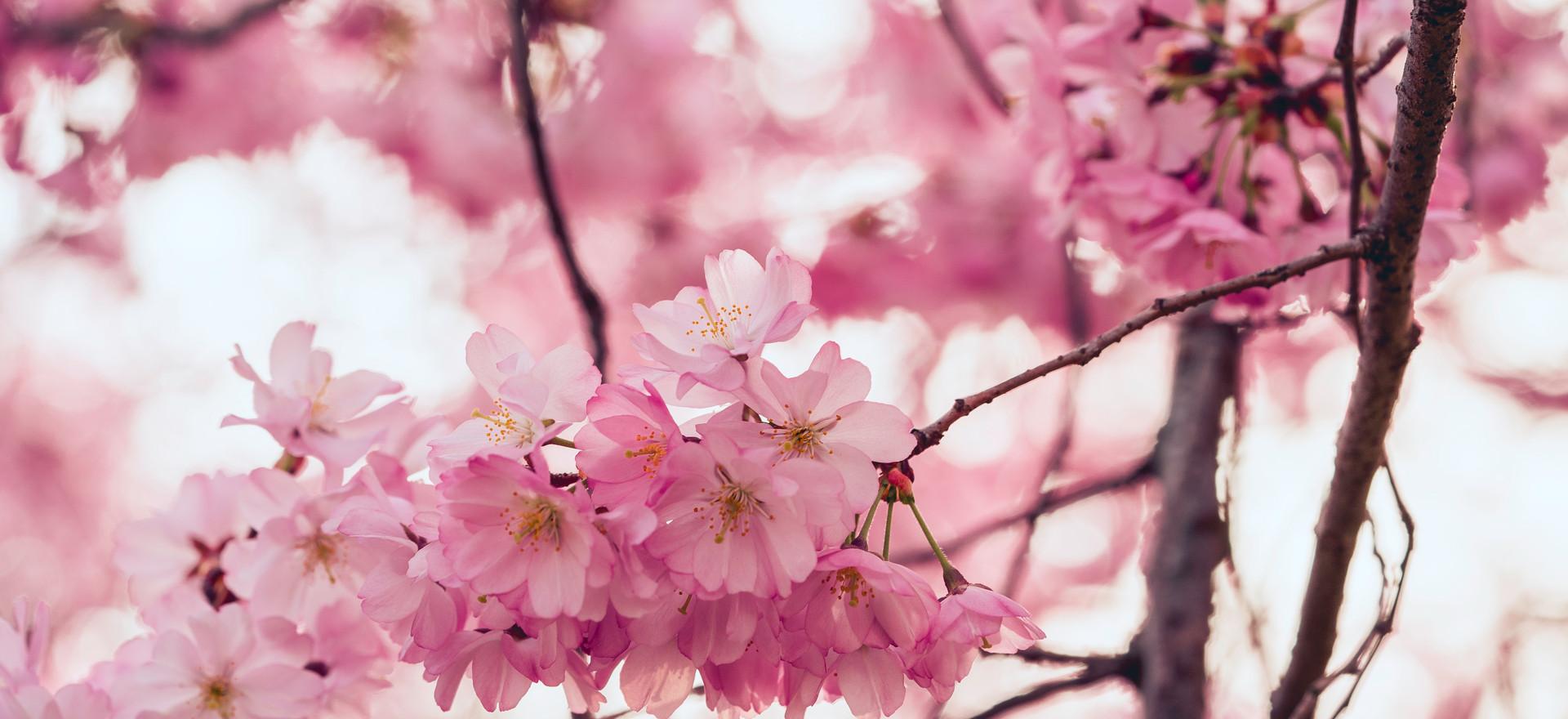 Fleure de cerisier