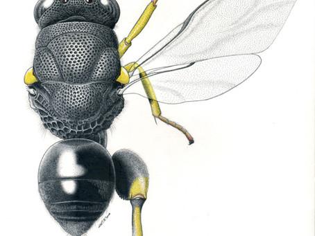 川島逸郎 「標本画としての昆虫」
