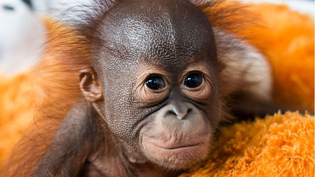 Red Ape: Saving the Orangutan