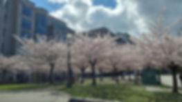 Arboles de Cerezo Vancouver