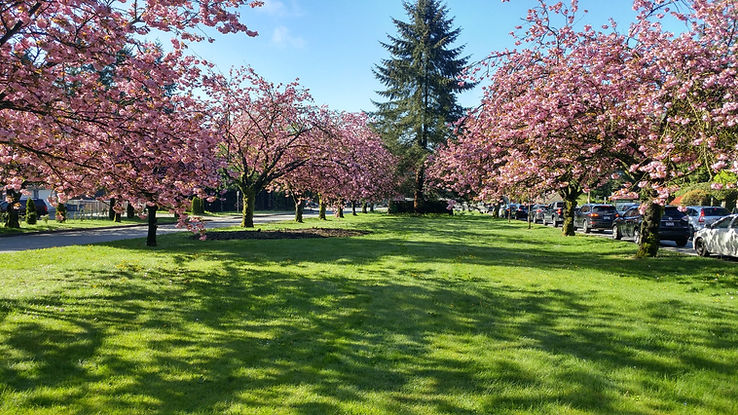 North Vancouver Cherry Blossom