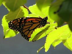 Butterfly in the Fan