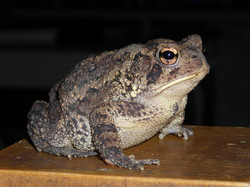 Jode the Toad