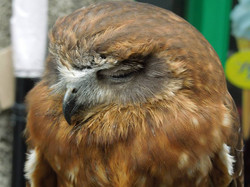 Edinburgh, Scotland Owl