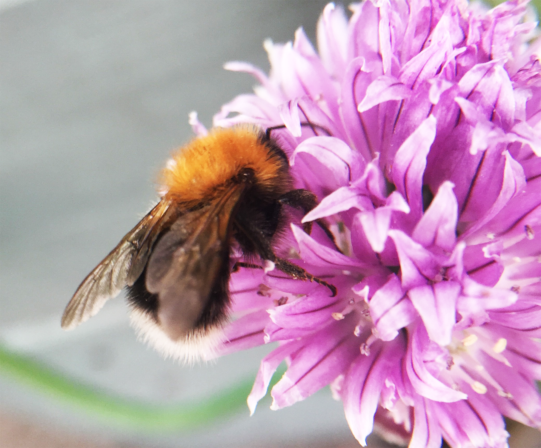 Bombus hypnorum in 2017.png