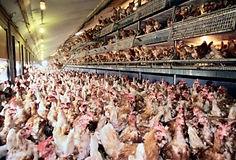 Les œufs de poules