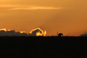 Ostrich at dawn