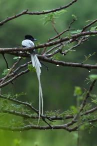 Paradise flycatcher, white morph